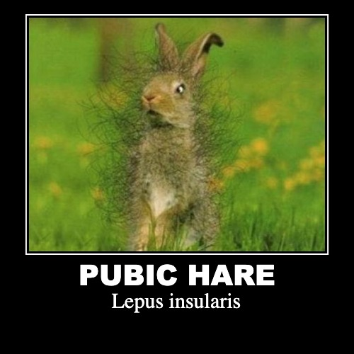 Lepus insularis... | PUBIC HARE | Lepus insularis | image tagged in funny,demotivationals,pubic hair | made w/ Imgflip demotivational maker
