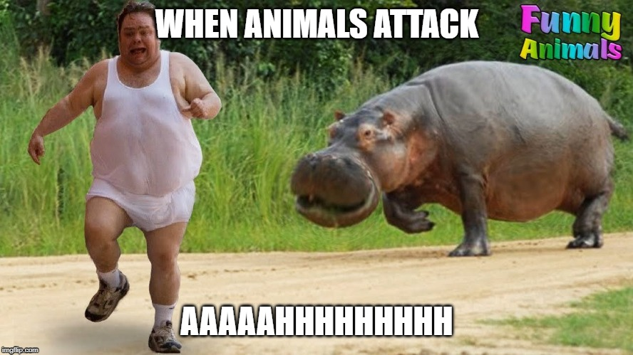 Hippo fail | WHEN ANIMALS ATTACK AAAAAHHHHHHHHH | image tagged in hippo,animals,mitchell_nicholas_045,sumo,funny animals | made w/ Imgflip meme maker