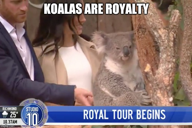 Meanwhile in Australia |  KOALAS ARE ROYALTY | image tagged in royal koala | made w/ Imgflip meme maker