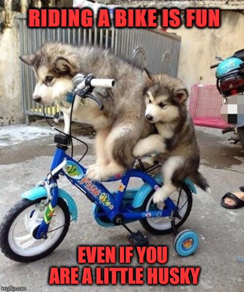 Happy Father's Day to all the fathers! | RIDING A BIKE IS FUN EVEN IF YOU ARE A LITTLE HUSKY | image tagged in bike,husky,fathers day | made w/ Imgflip meme maker
