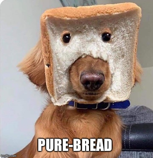 Pure-bread |  PURE-BREAD | image tagged in funny,golden retriever,dogs,funny dog memes | made w/ Imgflip meme maker