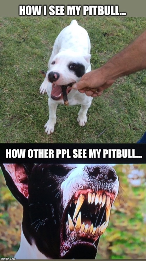 How I see my pitbull vs how others see my pitbull - Imgflip