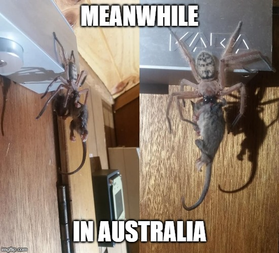 Yes, that's a spider eating an opossum | MEANWHILE IN AUSTRALIA | image tagged in memes,australia,meanwhile in australia,spider,opossum,possum | made w/ Imgflip meme maker