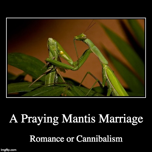 Nature is full of weirdos | A Praying Mantis Marriage | Romance or Cannibalism | image tagged in funny,demotivationals,nature,praying mantis,cannibalism,memes | made w/ Imgflip demotivational maker