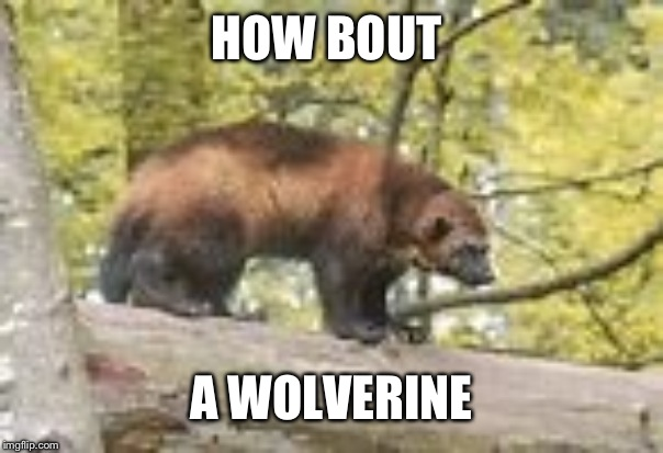 Wolverine | HOW BOUT A WOLVERINE | image tagged in wolverine | made w/ Imgflip meme maker