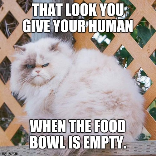 Angry at human_No food | THAT LOOK YOU GIVE YOUR HUMAN WHEN THE FOOD BOWL IS EMPTY. | image tagged in hungry cat,angry cat | made w/ Imgflip meme maker