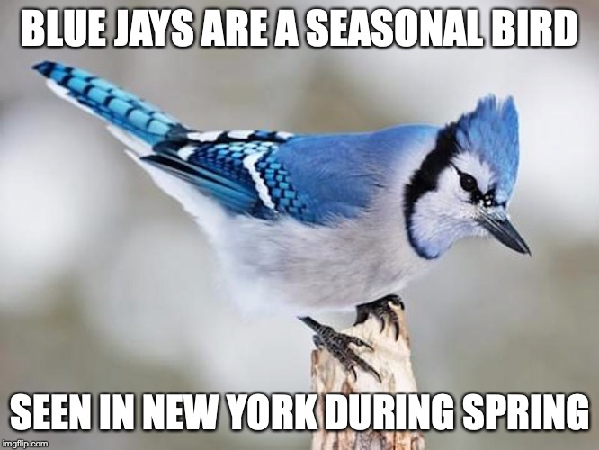 Blue Jay | BLUE JAYS ARE A SEASONAL BIRD SEEN IN NEW YORK DURING SPRING | image tagged in blue jay,memes,birds | made w/ Imgflip meme maker