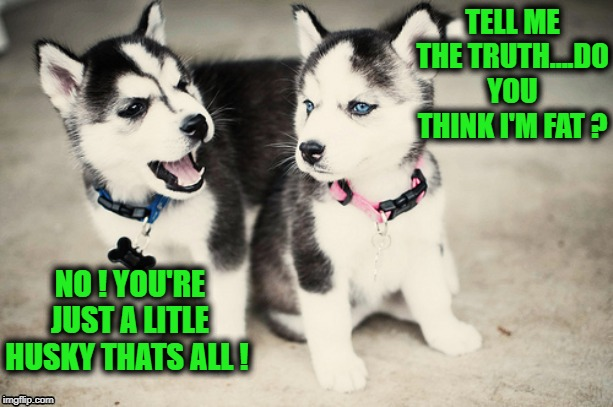 Little Husky | TELL ME THE TRUTH....DO YOU THINK I'M FAT ? NO ! YOU'RE JUST A LITLE HUSKY THATS ALL ! | image tagged in funny,joke,puppy,dog,husky,fat | made w/ Imgflip meme maker