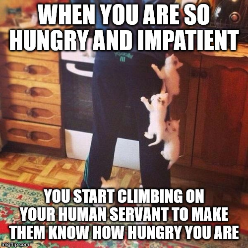 Hungry Kitties hassling human servant | WHEN YOU ARE SO HUNGRY AND IMPATIENT YOU START CLIMBING ON YOUR HUMAN SERVANT TO MAKE THEM KNOW HOW HUNGRY YOU ARE | image tagged in kitties climbing on clothes,kitties,food,humans,climbing,adorable | made w/ Imgflip meme maker