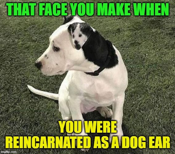 It could be worse, he could have been the tail! | THAT FACE YOU MAKE WHEN YOU WERE REINCARNATED AS A DOG EAR | image tagged in nixieknox,memes,karma | made w/ Imgflip meme maker