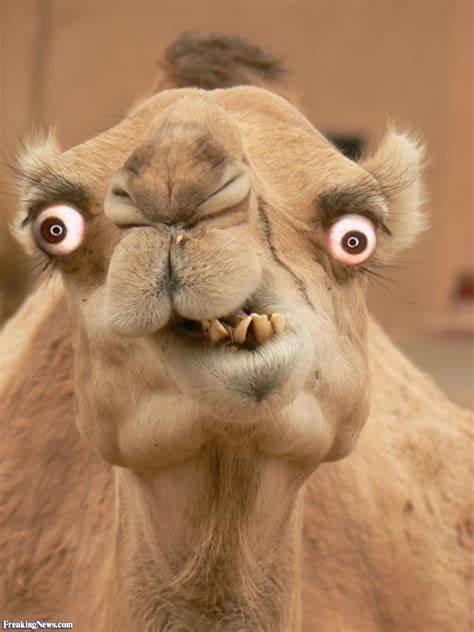 ugly camel Meme Template