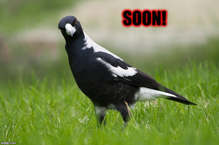 SOON! | image tagged in australian magpie | made w/ Imgflip meme maker