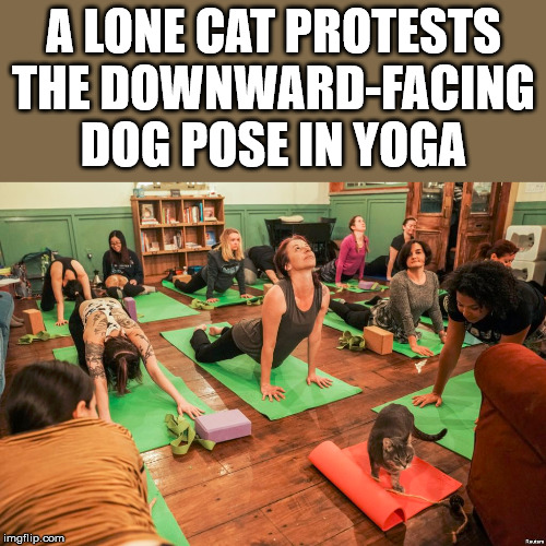 Cats want it renamed after them | A LONE CAT PROTESTS THE DOWNWARD-FACING DOG POSE IN YOGA | image tagged in protest,funny,yoga | made w/ Imgflip meme maker
