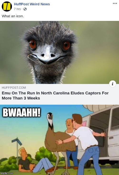 Emu of the Hill | BWAAHH! | image tagged in emu,funny,king of the hill,escape,headlines | made w/ Imgflip meme maker