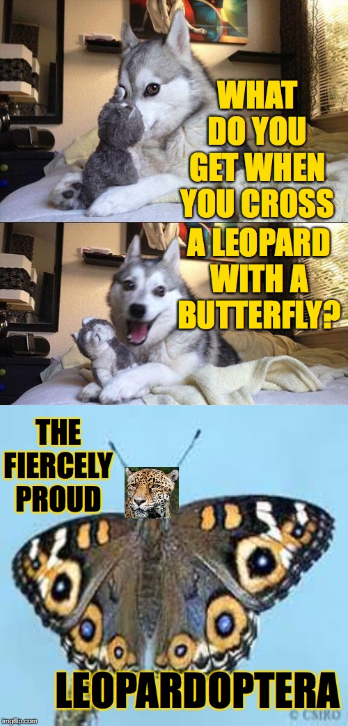 Very rare.  They only come out at night.  In Idaho. | WHAT DO YOU GET WHEN YOU CROSS A LEOPARD WITH A BUTTERFLY? THE FIERCELY PROUD LEOPARDOPTERA | image tagged in memes,bad pun dog,leopardoptera,cat and butterfly | made w/ Imgflip meme maker