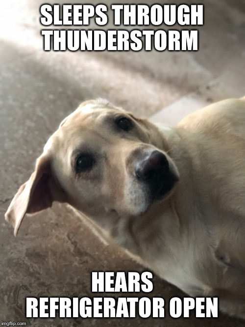 Food? | SLEEPS THROUGH THUNDERSTORM HEARS REFRIGERATOR OPEN | image tagged in labrador | made w/ Imgflip meme maker