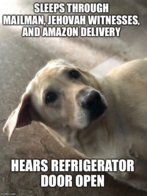 Food? | SLEEPS THROUGH MAILMAN, JEHOVAH WITNESSES, AND AMAZON DELIVERY HEARS REFRIGERATOR DOOR OPEN | image tagged in labrador,dog memes,hungry | made w/ Imgflip meme maker
