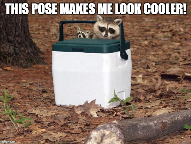 THIS POSE MAKES ME LOOK COOLER! | image tagged in racoons on a cooler | made w/ Imgflip meme maker
