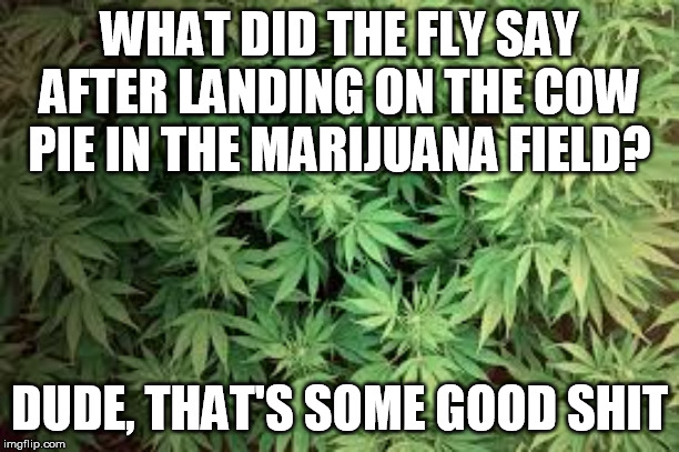 I don't even smoke, but I haven't done a joke in a while | WHAT DID THE FLY SAY AFTER LANDING ON THE COW PIE IN THE MARIJUANA FIELD? DUDE, THAT'S SOME GOOD SHIT | image tagged in marijuana,cows,fly | made w/ Imgflip meme maker