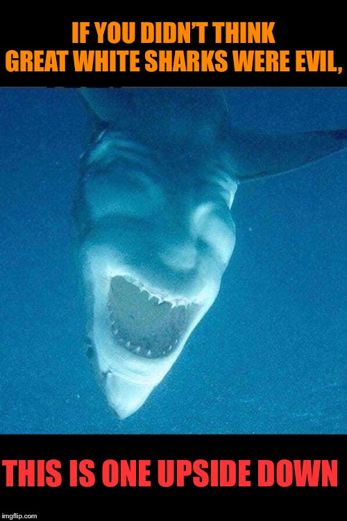 Lucifish |  IF YOU DIDN'T THINK GREAT WHITE SHARKS WERE EVIL, THIS IS ONE UPSIDE DOWN | image tagged in great white shark,upside-down,evil,looking,shark | made w/ Imgflip meme maker