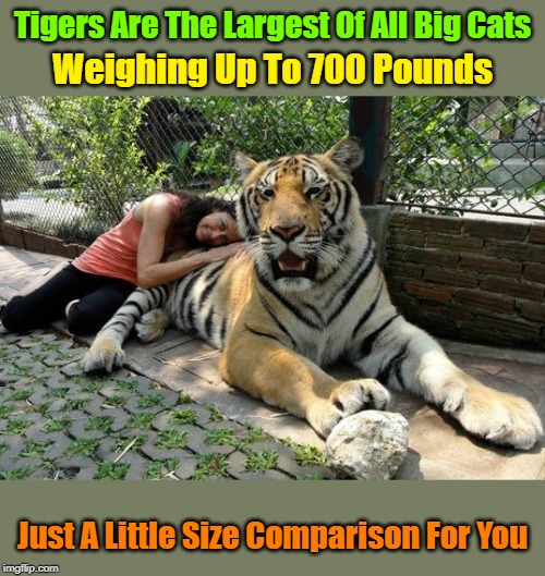"""Look At Dem Paws"" Tiger Week 3, July 27 - August 2 2019, a TigerLegend1046 event 