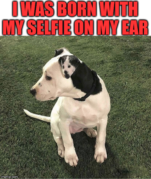 He wears his selfie | I WAS BORN WITH MY SELFIE ON MY EAR | image tagged in dog,selfie,cute dog | made w/ Imgflip meme maker