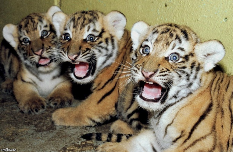 SCARED TIGER CUBS | image tagged in scared tiger cubs | made w/ Imgflip meme maker