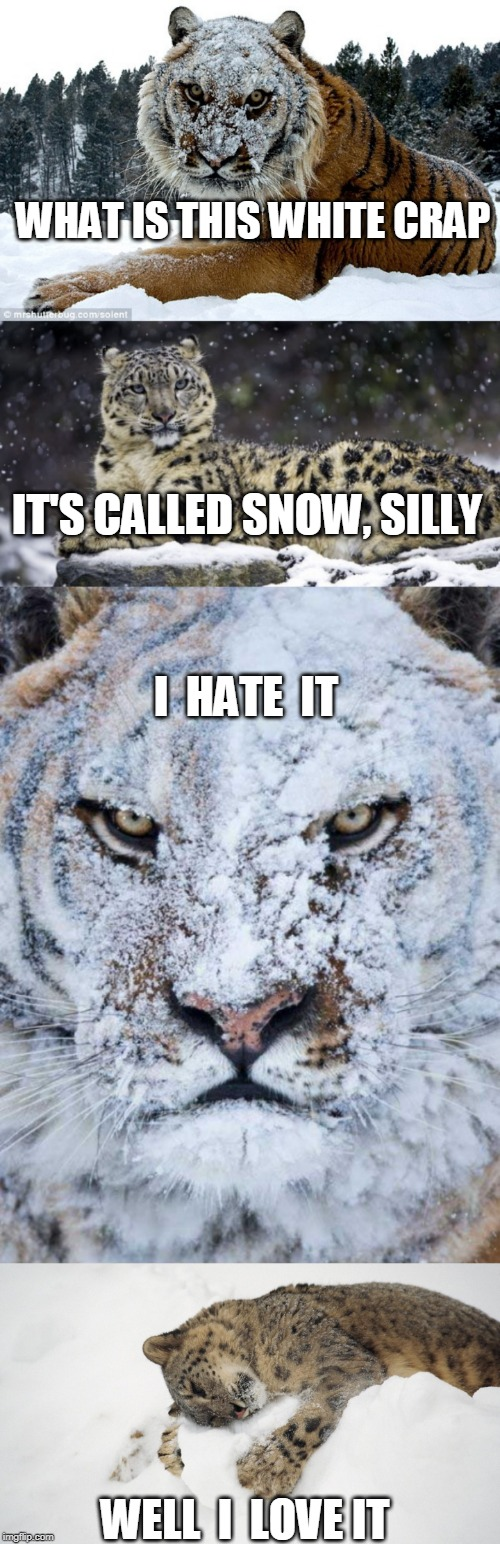 TIGER WEEK STILL? | WHAT IS THIS WHITE CRAP WELL  I  LOVE IT IT'S CALLED SNOW, SILLY I  HATE  IT | image tagged in tiger week,tiger,snow leopard,leopard,snow | made w/ Imgflip meme maker