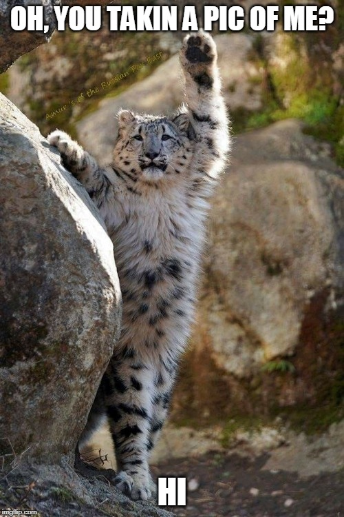 HI THERE | OH, YOU TAKIN A PIC OF ME? HI | image tagged in cats,snow leopard,leopard,funny | made w/ Imgflip meme maker