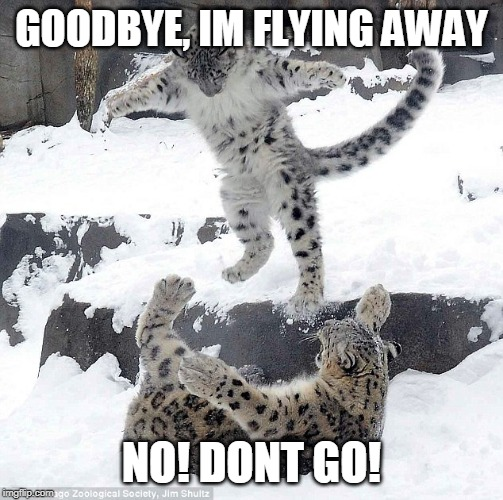 GOOD BYE KITTY | GOODBYE, IM FLYING AWAY NO! DONT GO! | image tagged in cats,funny,snow leopard,leopard | made w/ Imgflip meme maker