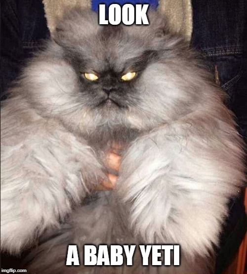 WHAT KINDA CAT IS THAT? | LOOK A BABY YETI | image tagged in cats,funny,yeti | made w/ Imgflip meme maker