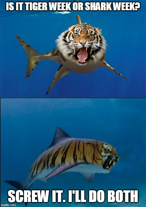 I LIKE TIGER WEEK | IS IT TIGER WEEK OR SHARK WEEK? SCREW IT. I'LL DO BOTH | image tagged in tiger week,shark week,tiger,shark,funny | made w/ Imgflip meme maker