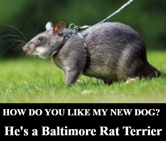 How Do You Like My New Dog? |  He's a Baltimore Rat Terrier; HOW DO YOU LIKE MY NEW DOG? | image tagged in baltimore,rat terrier,baltimore rat terrier,pets,pet rat,triggered liberals | made w/ Imgflip meme maker