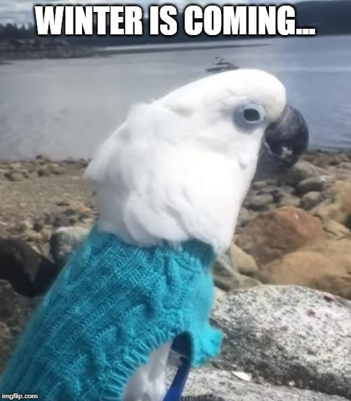 Winter is coming | WINTER IS COMING... | image tagged in cockatoo,game of thrones,winter is coming,birb | made w/ Imgflip meme maker