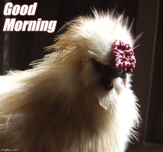 Good Morning |  Good Morning | image tagged in good morning chickens,memes,good morning,silkies,good morning silkies,chickens | made w/ Imgflip meme maker