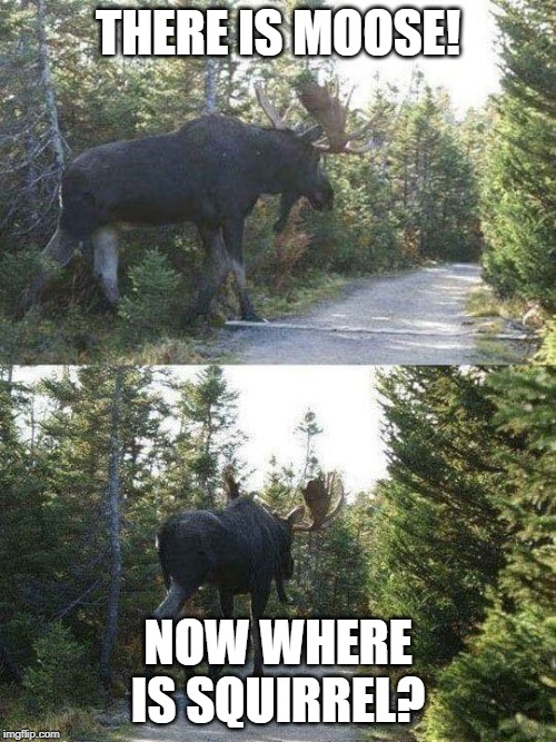 moose crossing |  THERE IS MOOSE! NOW WHERE IS SQUIRREL? | image tagged in moose crossing | made w/ Imgflip meme maker