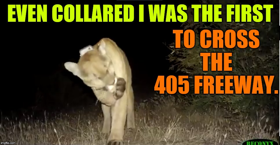 Can You Believe It? | EVEN COLLARED I WAS THE FIRST TO CROSS THE 405 FREEWAY. | image tagged in memes,mountain,lion,first time,cross,405 freeway | made w/ Imgflip meme maker