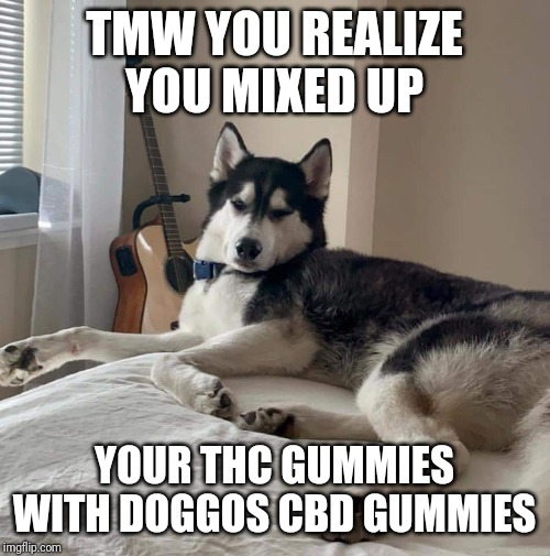 Gummies | TMW YOU REALIZE YOU MIXED UP YOUR THC GUMMIES WITH DOGGOS CBD GUMMIES | image tagged in derp,gummies,doggo,husky,lol,highaf | made w/ Imgflip meme maker