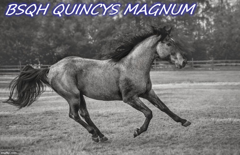 Blue Steel Quarter Horses, LLC | BSQH QUINCYS MAGNUM | image tagged in stallion,aqha,horse,running,blue roan,quarter horse | made w/ Imgflip meme maker
