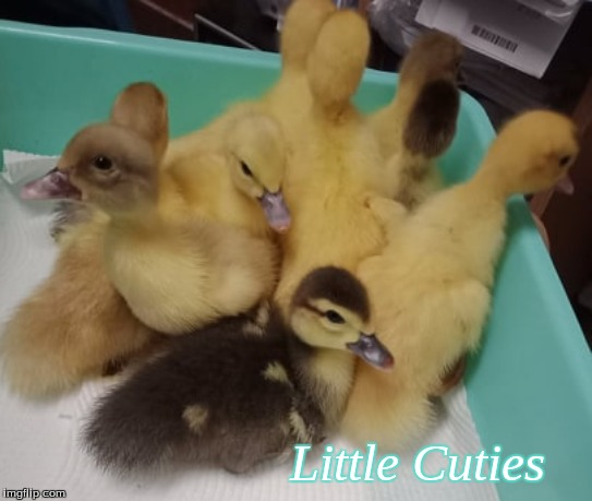 Little cuties |  Little Cuties | image tagged in memes,cute ducklings,ducks,ducklings | made w/ Imgflip meme maker