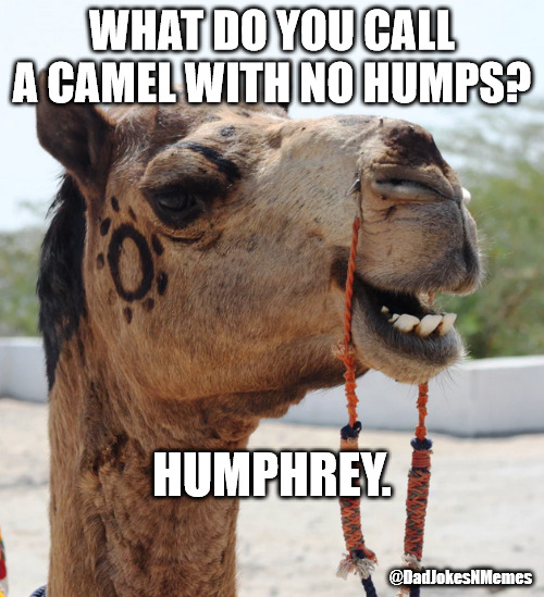 This joke is so corny I grabbed my camel-corder. | WHAT DO YOU CALL A CAMEL WITH NO HUMPS? HUMPHREY. @DadJokesNMemes | image tagged in dad jokes,dad joke,camel,corny joke,corny | made w/ Imgflip meme maker