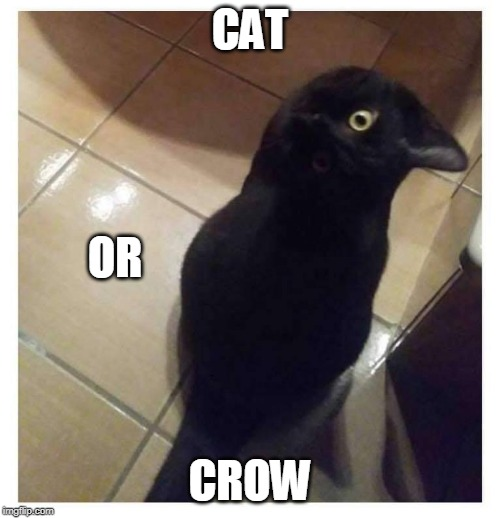 CATCROW | CAT CROW OR | image tagged in cats,cat,crow,memes | made w/ Imgflip meme maker