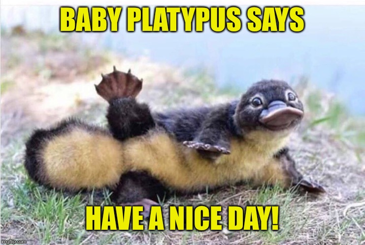 Baby platypus | BABY PLATYPUS SAYS HAVE A NICE DAY! | image tagged in cute animals,baby,platypus,have a nice day | made w/ Imgflip meme maker