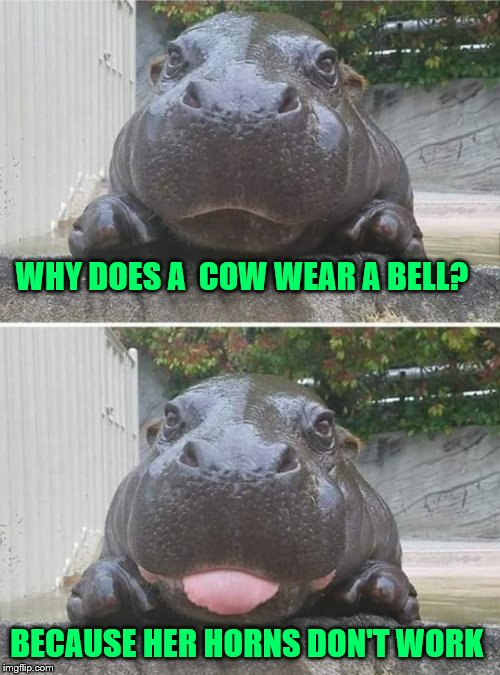 Corny hippo |  WHY DOES A  COW WEAR A BELL? BECAUSE HER HORNS DON'T WORK | image tagged in corny hippo | made w/ Imgflip meme maker