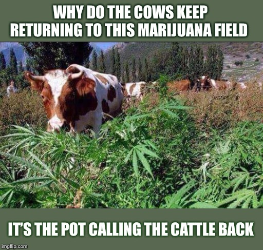 Bad Cow Pun | WHY DO THE COWS KEEP RETURNING TO THIS MARIJUANA FIELD IT'S THE POT CALLING THE CATTLE BACK | image tagged in marijuana,cows | made w/ Imgflip meme maker