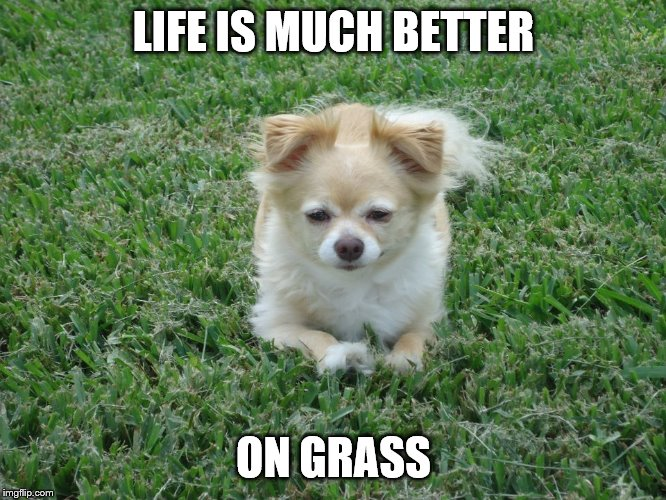 Kirby's words |  LIFE IS MUCH BETTER; ON GRASS | image tagged in weed,chihuahua,dog,legalize weed,2020,marijuana | made w/ Imgflip meme maker