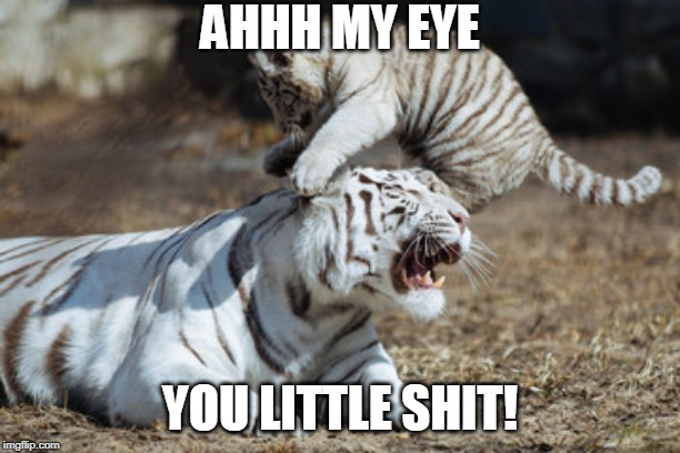 SORRY MAMA | AHHH MY EYE YOU LITTLE SHIT! | image tagged in cats,funny,cat,tiger | made w/ Imgflip meme maker