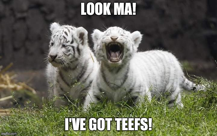 I love the wind in my teefs! | LOOK MA! I'VE GOT TEEFS! | image tagged in funny tiger,funny teeth,funny wind in my teefs | made w/ Imgflip meme maker