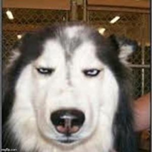 original pissed off husky | image tagged in original pissed off husky | made w/ Imgflip meme maker