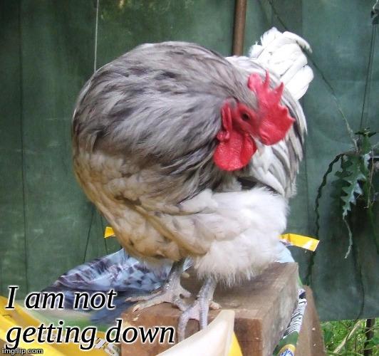 I am not getting down |  I am not  getting down | image tagged in memes,chickens,roosters | made w/ Imgflip meme maker